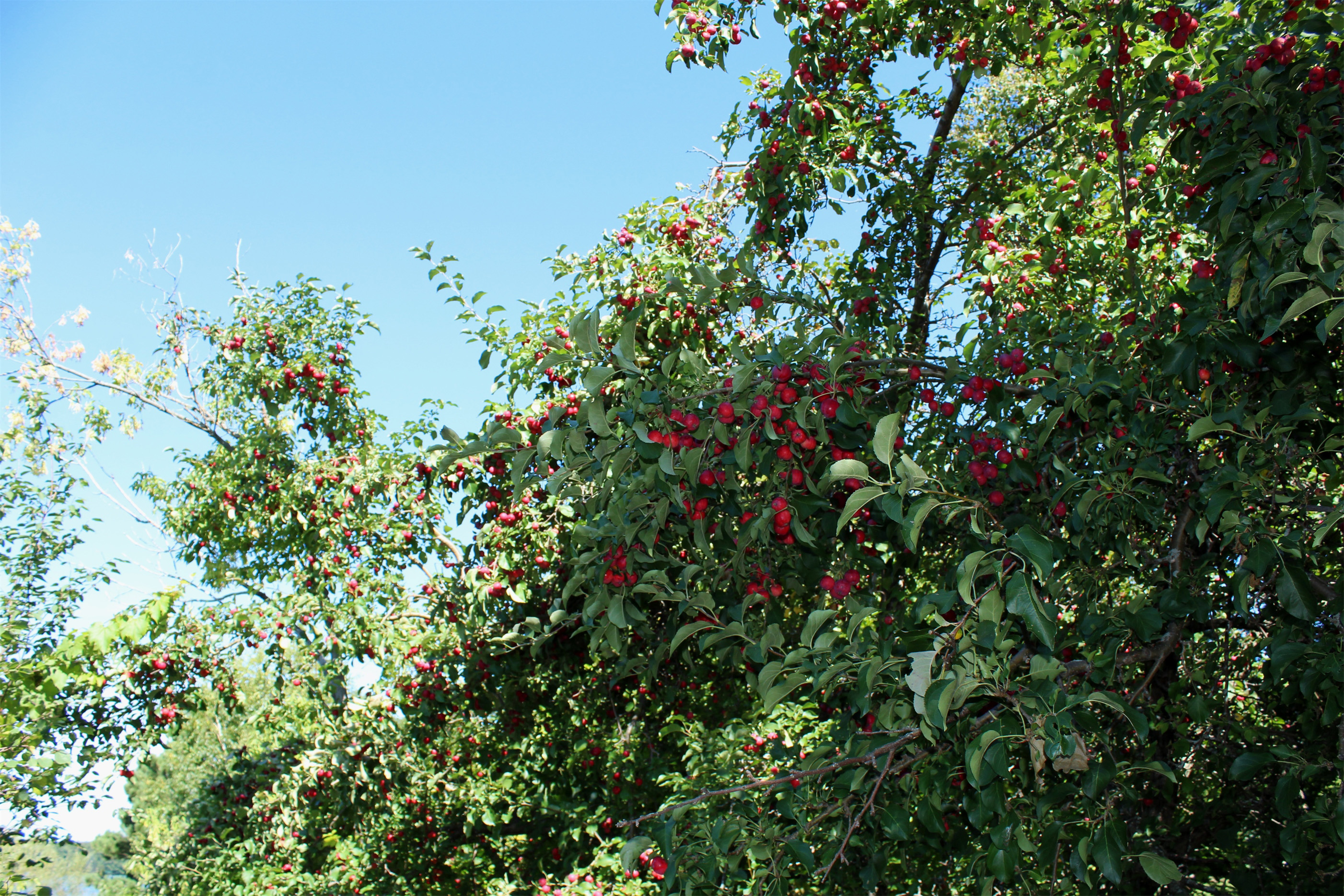 Bright red apples hang from this tree near the Bearskin Trail, Minocqua. Kim Johnson photo