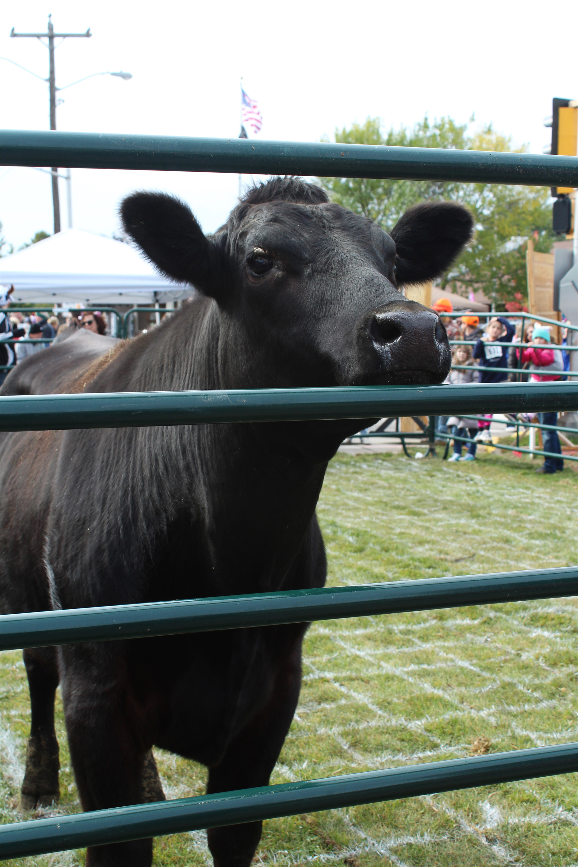 At the annual Cow Pie Plop, the crowd watches this cow closely. The event is a fundraiser held by the Lakeland Hawks Ice Arena during Beef-A-Rama in Minocqua. Kim Johnson photo