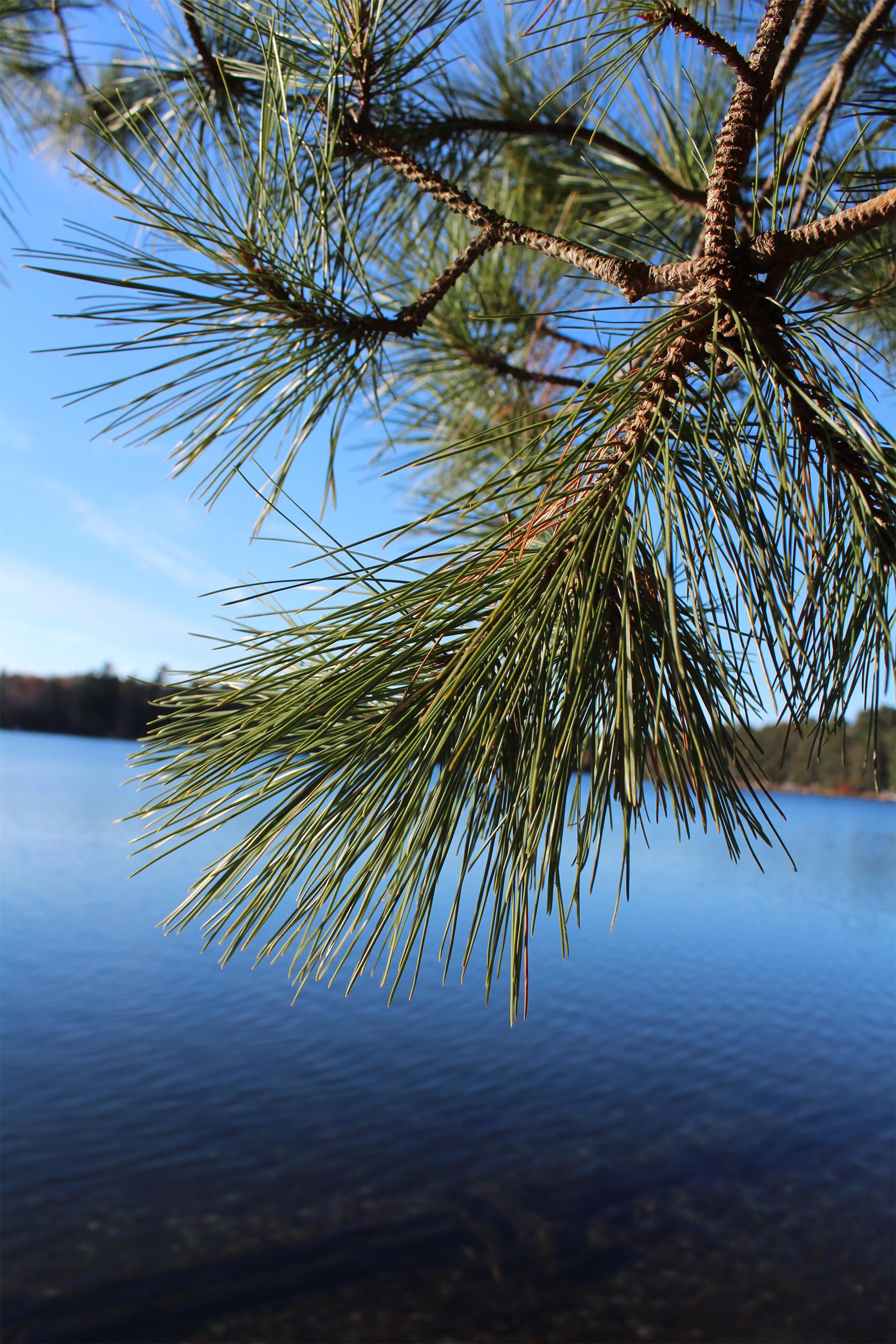 A view through the pine trees of South Blue Lake, Hazelhurst. Kim Johnson photo