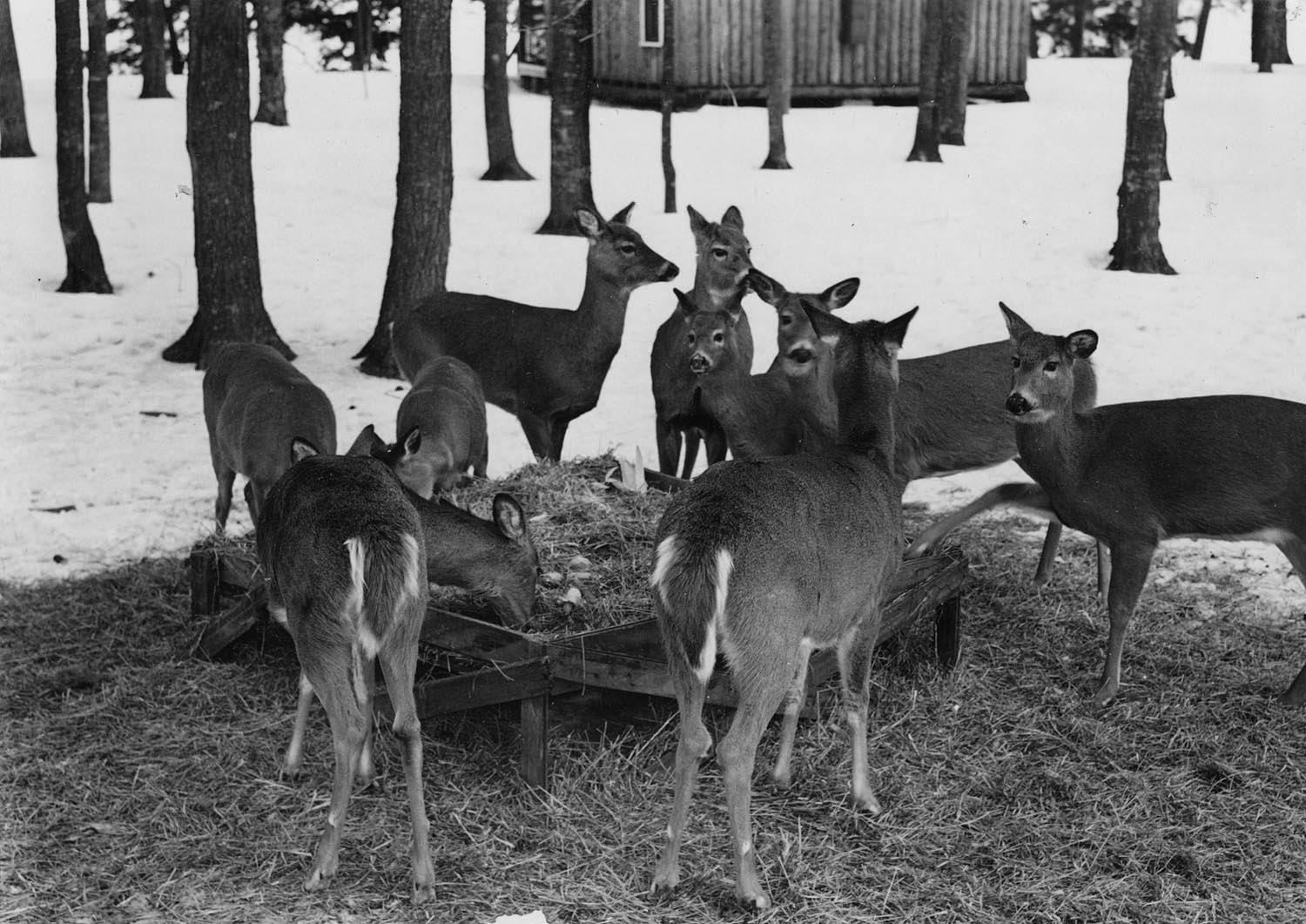 Deer feeding trough at Camp McKinley near Boulder Junction. Photo taken in 1944. Wisconsin Department of Natural Resources photo