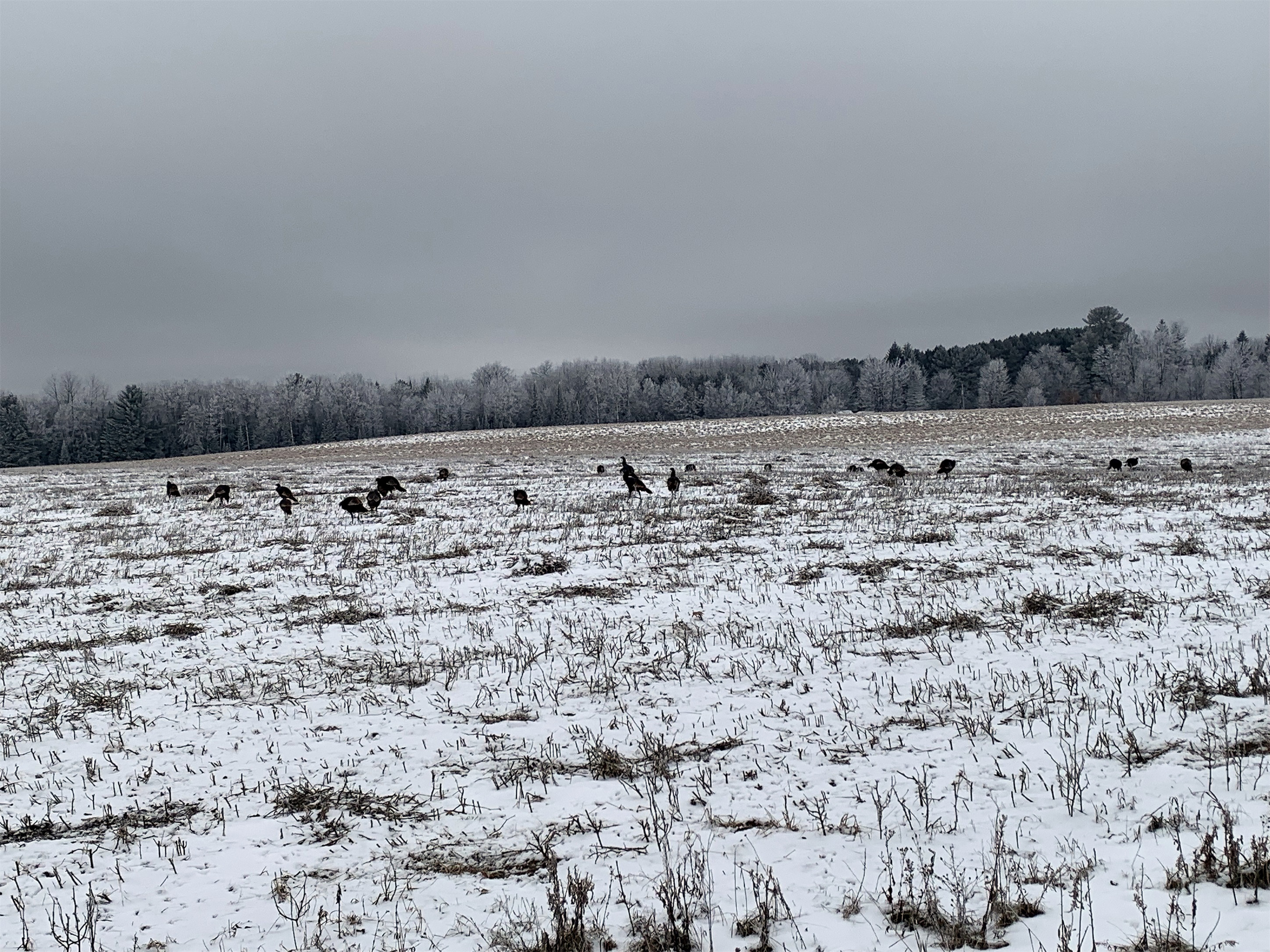 More than a dozen turkeys hang out in this field near Harshaw. Kim Johnson photo