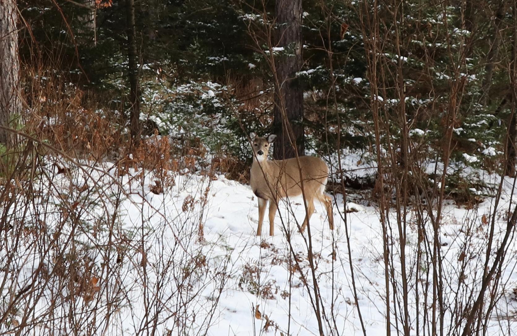 A doe peers through the brush in Hazelhurst. Kim Johnson photo