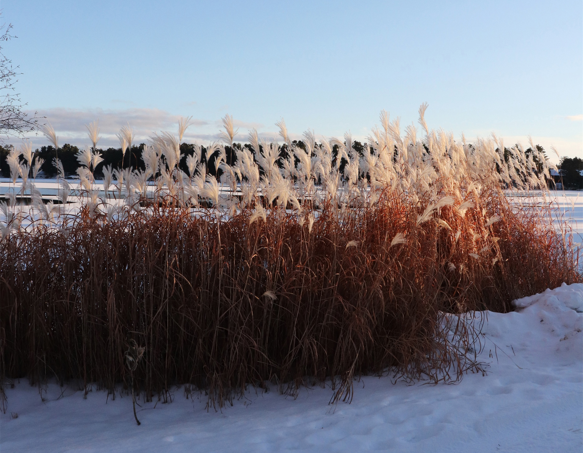 Feathery grass seems to glow in the sunset over Lake Minocqua. Kim Johnson photo