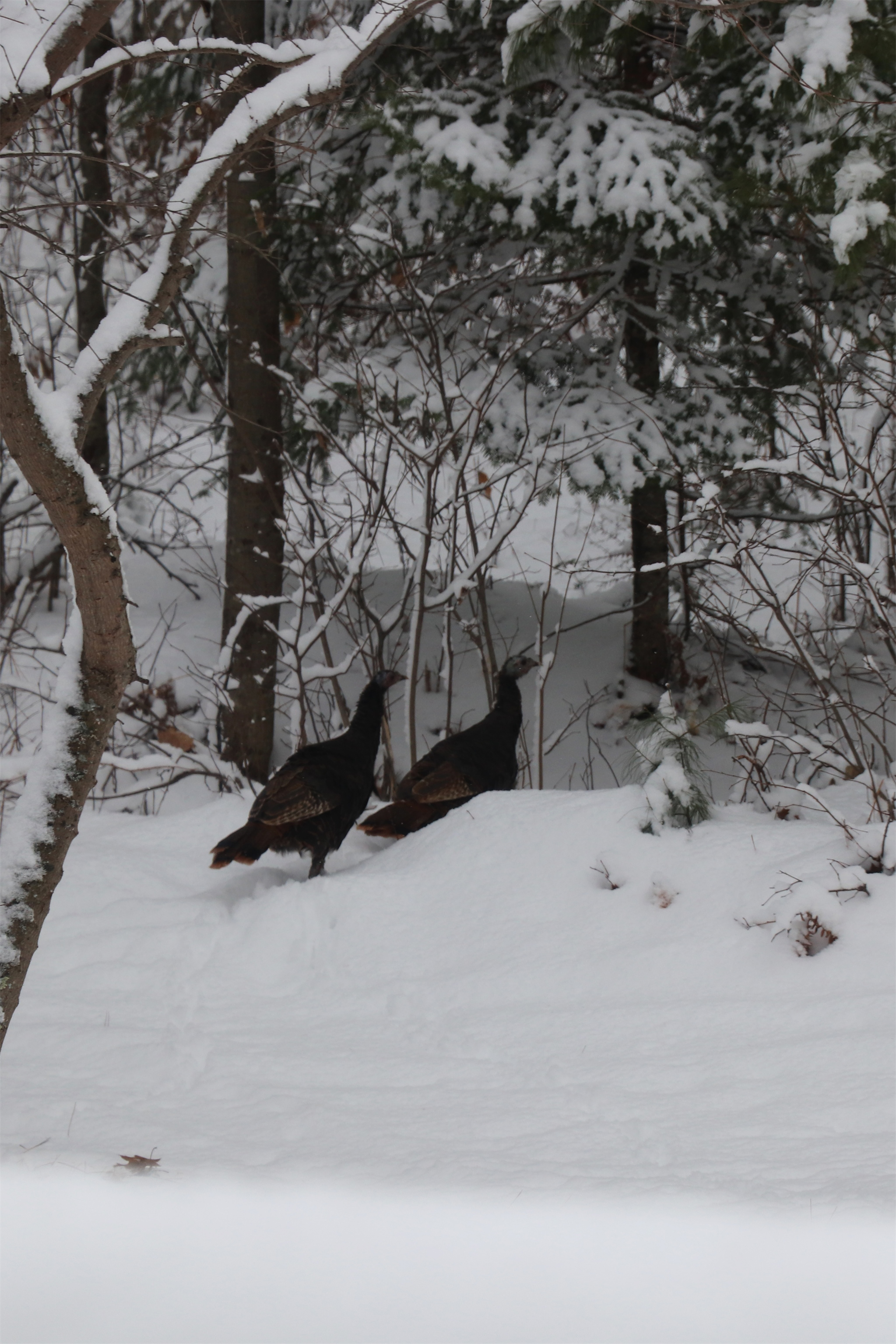 Two turkeys stroll along a trail in Hazelhurst. Kim Johnson photo